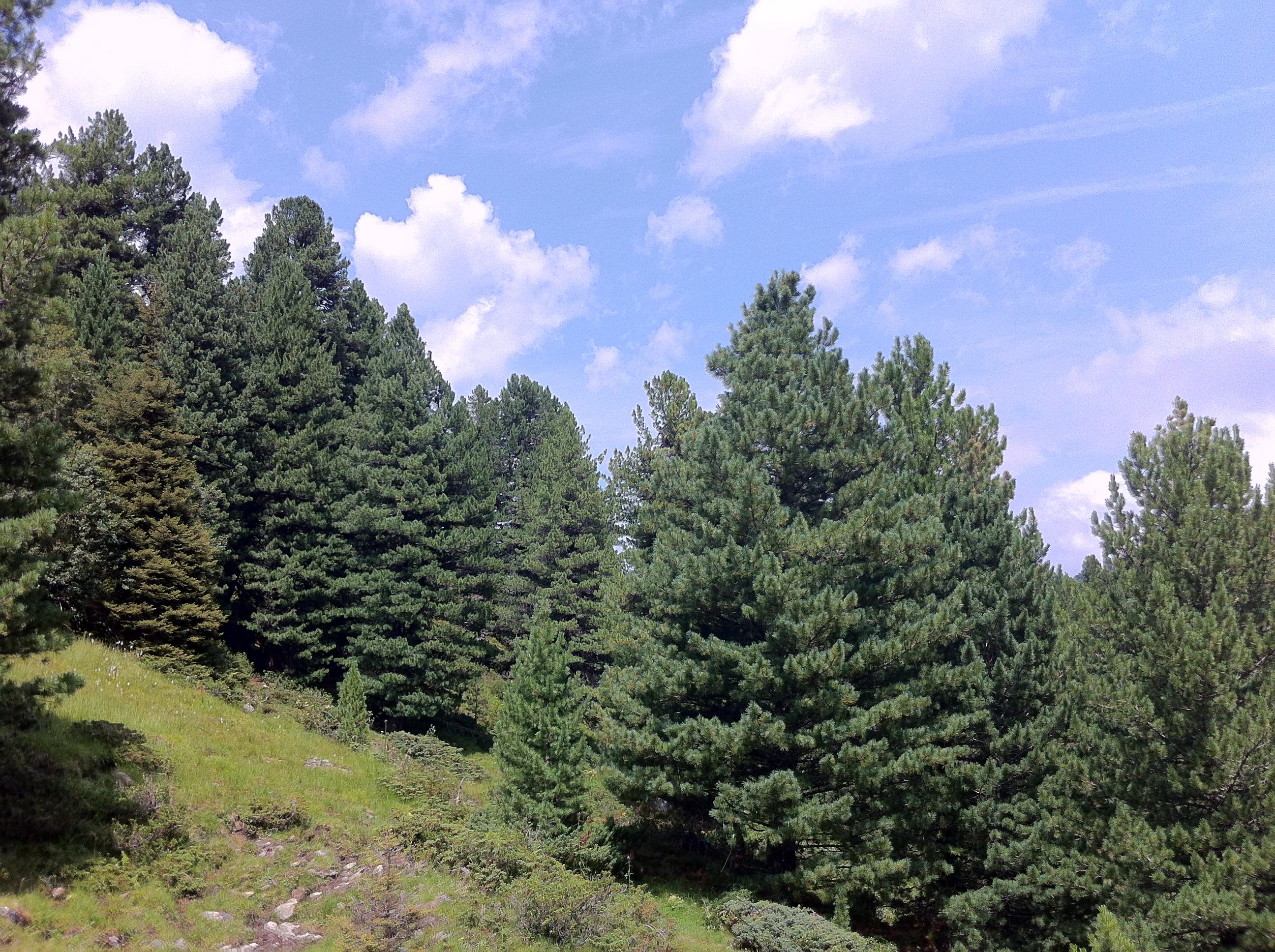 Ein Schutzwald im Tiroler Fotschertal. Ohne diese Schutzwälder wären viele Alpentäler nicht zu bediedeln.