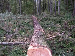Das Kernholz der Lärche ist rötlich-braun, während das jüngere Stammholz wesentlich heller ist. Foto: Wikipedia