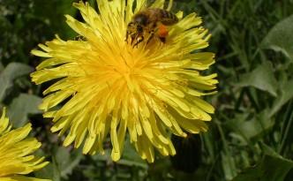 Bienen sind für Menschen unverzichtbar geworden.