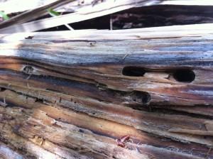 Borkenkäfer als Aasgeier der Wälder: Schadholz wird von ihnen wieder verwertbar gemacht.