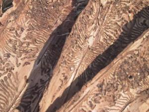 Die typischen Gänge (Rammelkammern) der Borkenkäfer. Bild: Wikipedia