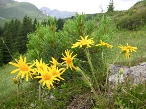 Arnika, die vielleicht bekannterste Heilblüte der Alpen