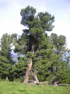 Die Zirbe ist in Tirol besonders verbreitet. Sie ist Teil eines Konzeptes der Nachhaltigkeit.
