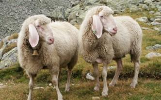 Schafe geben Schafwolle. Was geben Politiker_innen?